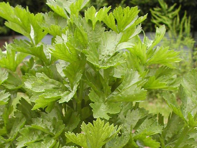 セロリ Apium graveolens var. dulce セリ科 セロリ属 消化促進になり、血圧を下げたり、毒素排出の作用がある。