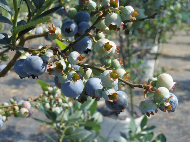 ブルーベリー Vaccinium corymbosum. ツツジ科 スノキ属 生食だけでなくジャムにしてもおいしい。