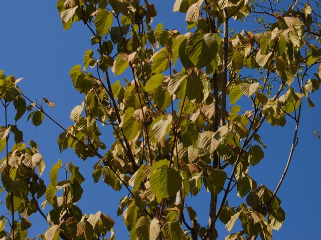 アズキナシ Aria alnifolia(Sorbus alnifolia) バラ科 アズキナシ属 和名の「小豆梨」は、果実が梨に似ていて、アズキのように小さいことにちなむ。