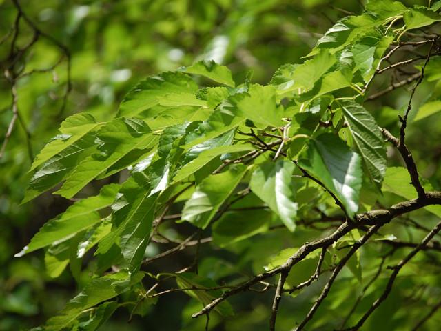 ヤマグワ Morus australis クワ科 クワ属 雌雄異株で夏に実が赤色から黒紫色に熟し、食べられる。カイコの餌として畑にも植栽。
