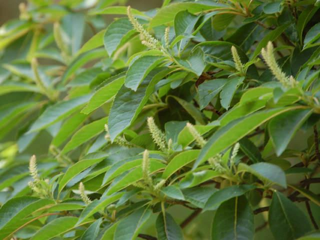 リョウブ Clethra barbinervis リョウブ科 リョウブ属 落葉小高木。若葉は山菜とされ、庭木としても植えられる。