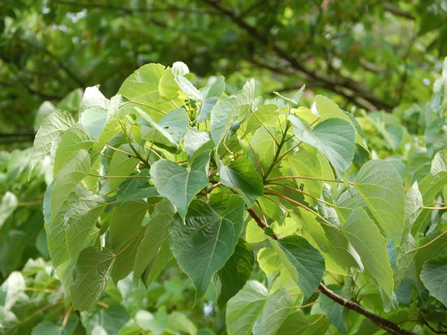 イイギリ Idesia polycarpa イイギリ科 イイギリ属 落葉高木。秋から冬に熟す多数の赤い果実が美しい。果実は生食可。