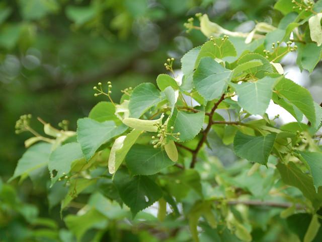 シナノキ Tilia japonica シナノキ科 シナノキ属 近縁種のセイヨウボダイジュはリンデンの名で欧米で親しまれている。
