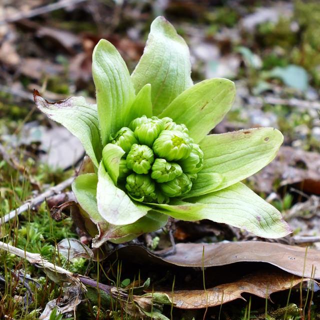 フキノトウ(フキ) Petasites japonicas Maxim キク科 フキ属 春先、雪解けとともに地面に顔を出すフキの花芽をフキノトウと呼びます。成長すると1m以上のフキになります。茎や葉もアク抜きして食します。