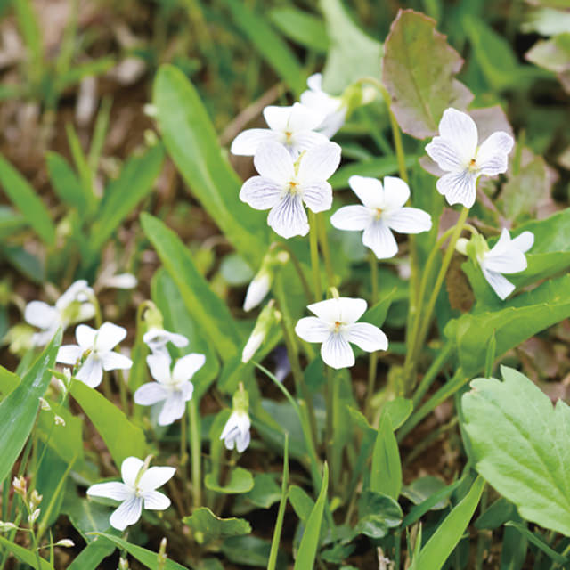 アリアケスミレ Viola betonicifolia var. albescens スミレ科 スミレ属 立ち上がる葉は長い楕円形で、草姿にボリュームがあります。名前は、有明の空の色に由来します。