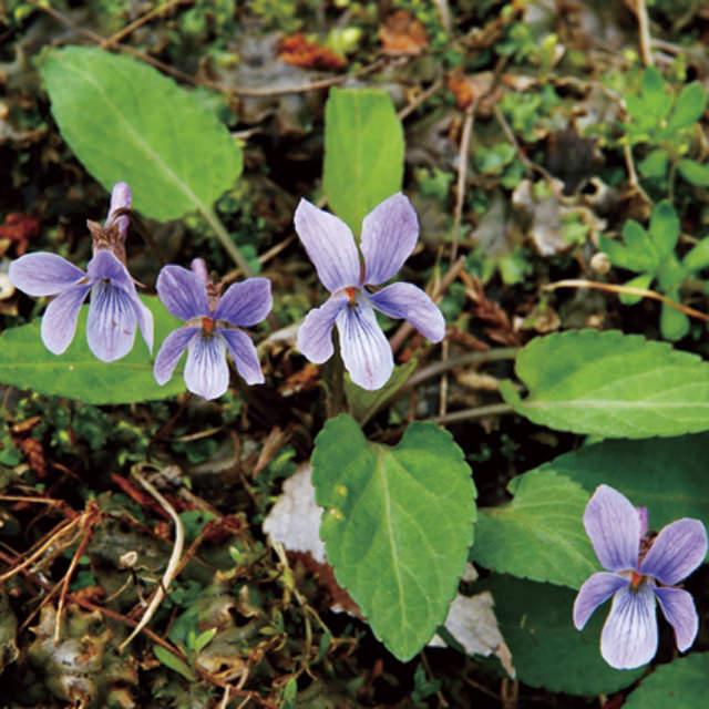 ノジスミレ Viola yedoensis スミレ科 スミレ属 日当たりのよい道ばたに生える、平地で育てやすい種類。青い花は濃淡の色幅があります。