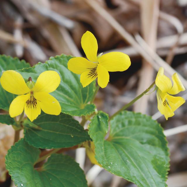 オオバキスミレ Viola brevistipulata ssp. brevistipulata スミレ科 スミレ属 黄花が咲くスミレとして人気。比較的大きく幅広い葉で、花色が引き立ちます。コレクションしたくなる可愛さ。