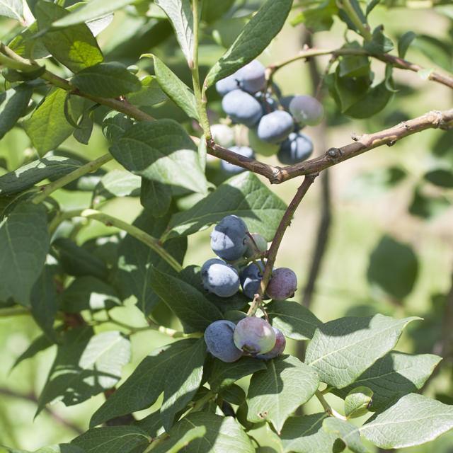 ブルーベリー Vaccinium ツツジ科 スノキ属 樹高1〜3mとコンパクトな果樹で家庭栽培向き。酸性土壌を好むので、用土調整がしやすい鉢植えで育てるのもオススメ。