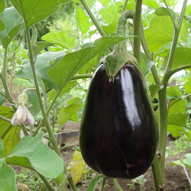 ナス Solanum melongena ナス科 ナス属 育て方はパプリカとほぼ同様です。ナスはより水を好むので、こまめに与えましょう。一番最初にできた実は、株を充実させるため早めに収穫します。
