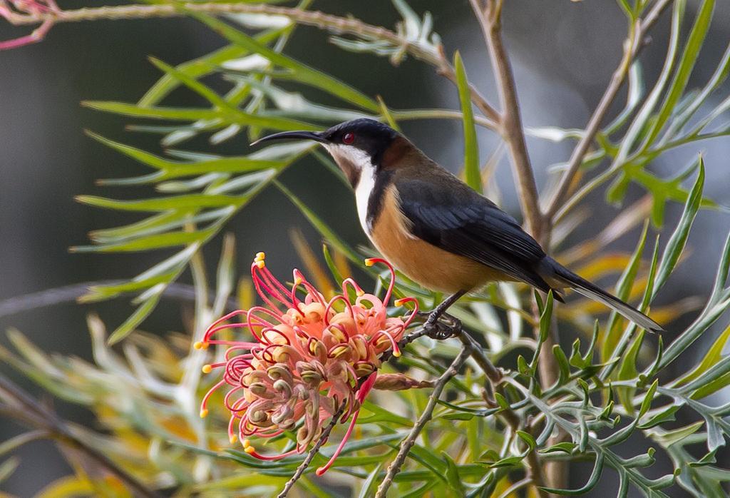 グレヴィレアの蜜を吸いにきたキリハシミツスイ。オーストラリアにて。
