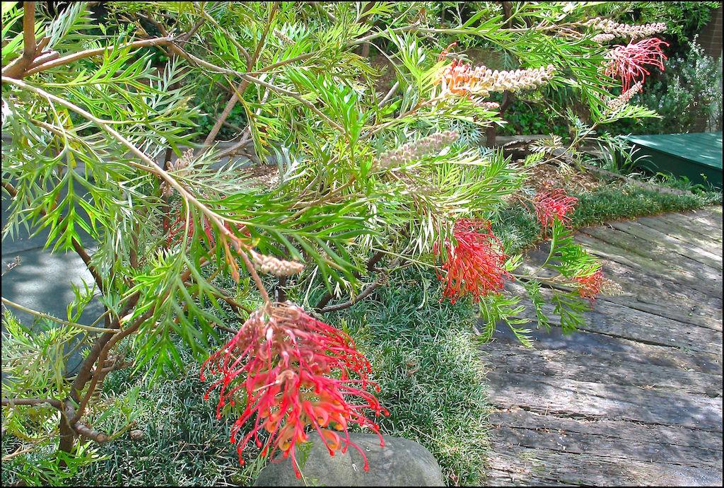 東京・三田にあるオーストラリア大使館の中庭で咲くグレヴィレア。