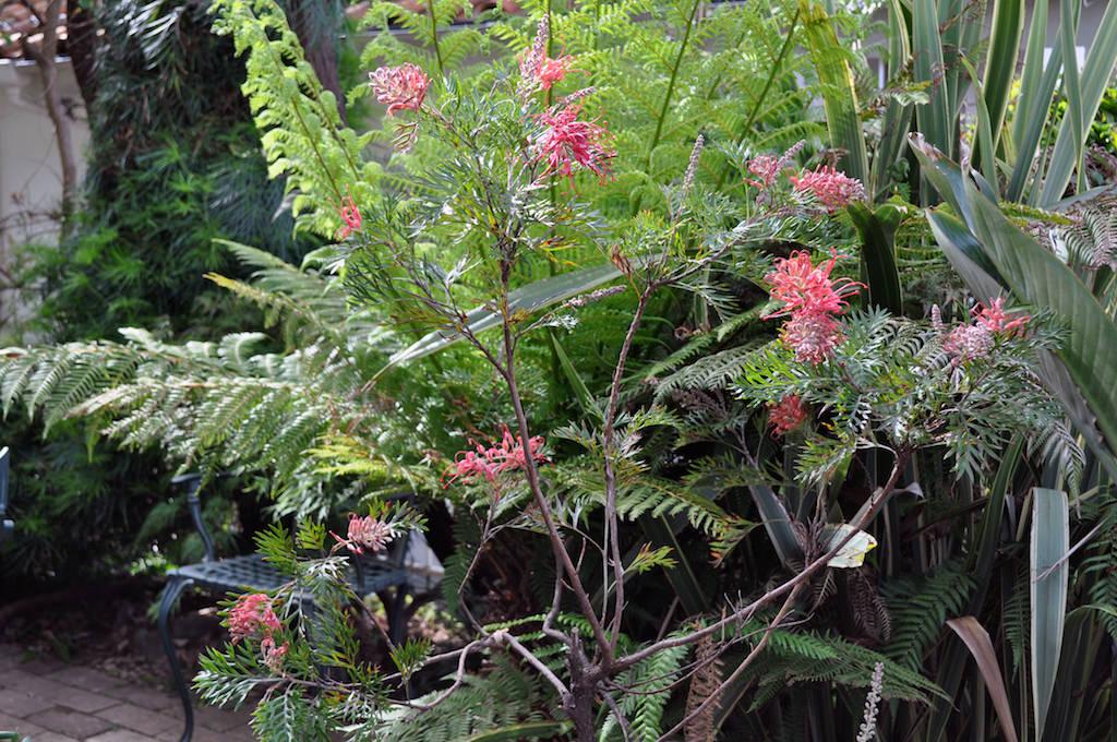 Alex's Gardenで鉢に植えて育てているグレヴィレア。2017年は5月中旬に開花がスタート。