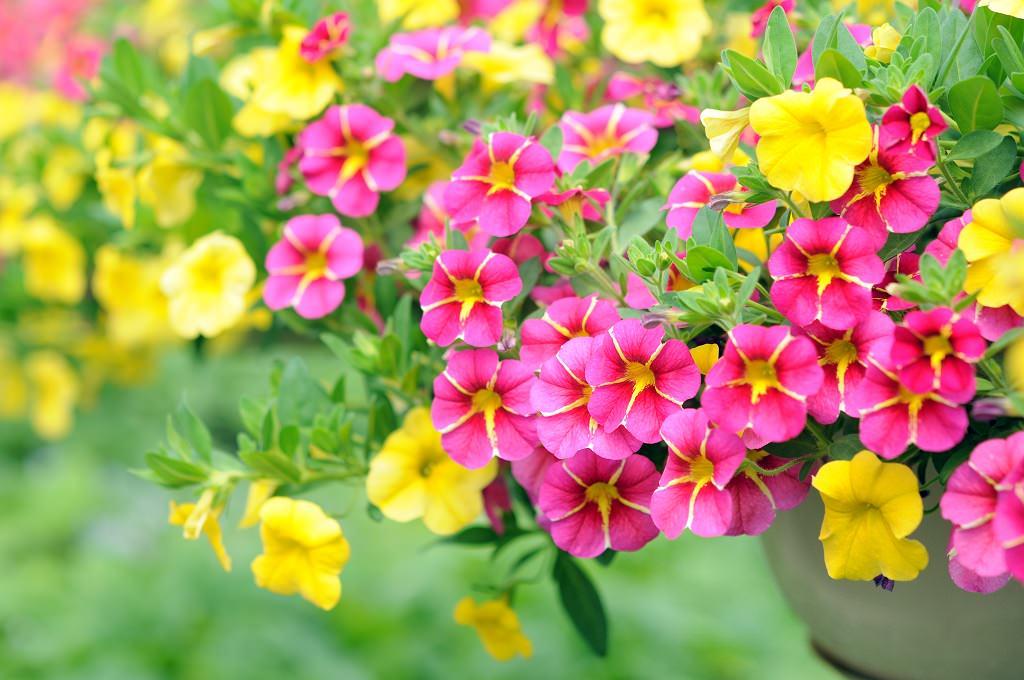 長日植物 菜の花・ペチュニアなど