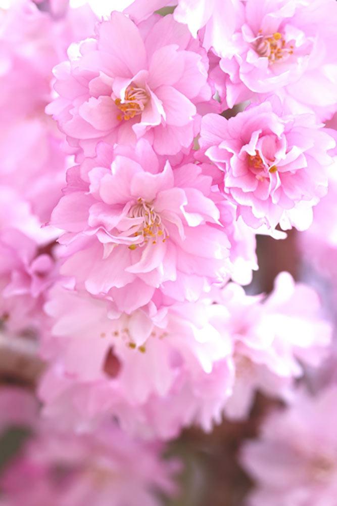 仙台八重紅枝垂桜
