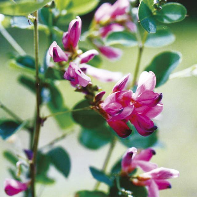 ハギ Lespedeza thunbergii マメ科 ハギ属 長く枝垂れた枝にたくさん花が咲き、風に揺れる姿が美しい。大きく育つので、植える場所には注意が必要です。
