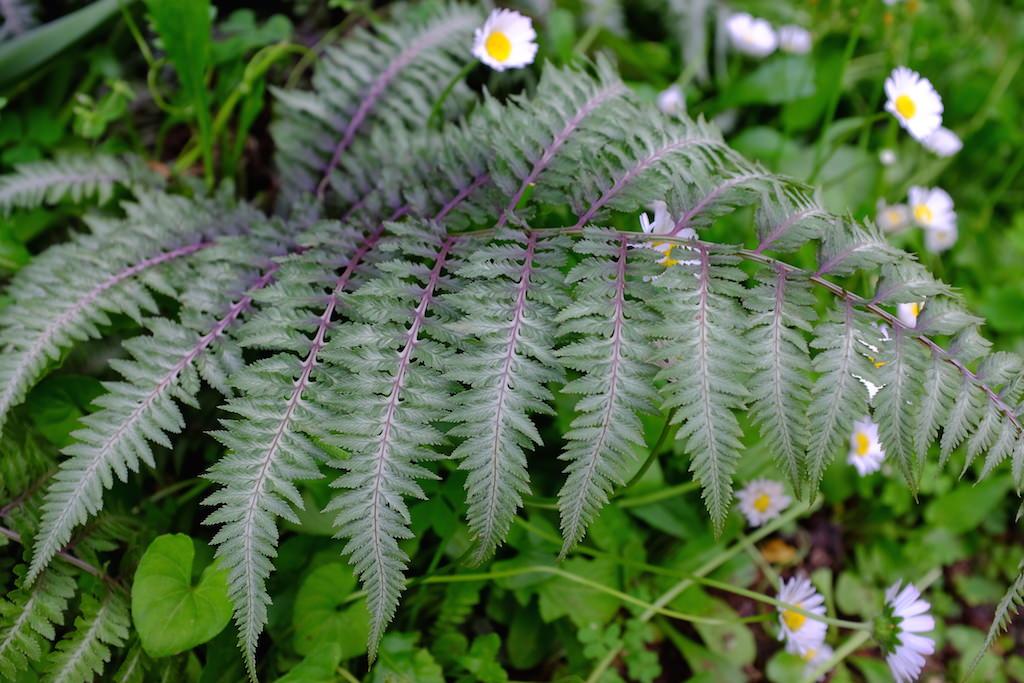 ニシキシダ パープルシルバーの色合いがなんともいえず美しいニシキシダ。特徴ある葉姿とも相まって、シェードガーデンでひときわ目を引く存在です