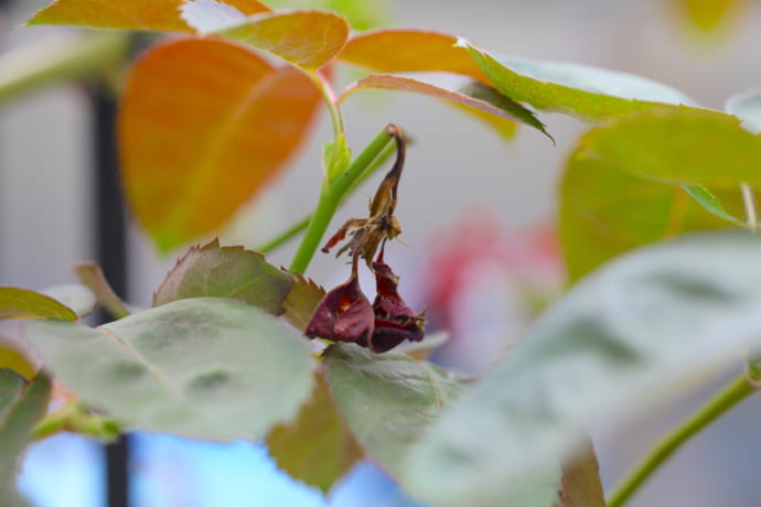 バラゾウムシのバラの新芽の被害