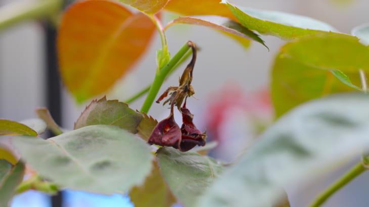 バラの新芽が枯れる原因は?