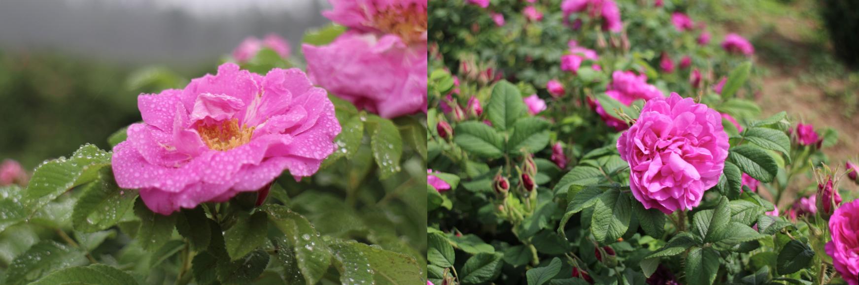 写真右、花びらの重なりが多く、多花性の'豊華'は、フルーティーな甘い香りも特徴。写真左の'紫枝'は、'豊華'に比べると花びらの重なりは少ないのですが、ひと回り大きな花で開花時期も長く、ブルガリアローズにレモンの風味を感じる爽やかな香りです。