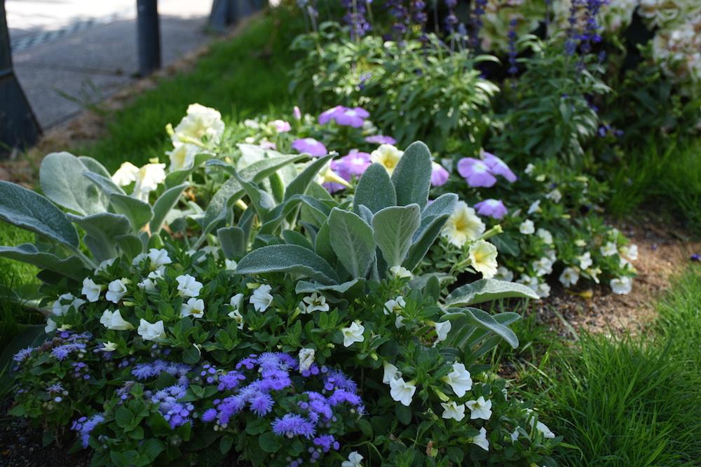 シルバーリーフと青花