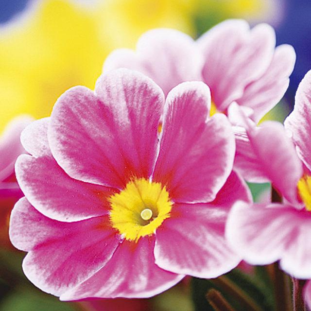 プリムラ Primula サクラソウ科 サクラソウ属 カラフルで多彩な花形が魅力的なプリムラは、水切れに気を付けると晩秋から初夏まで咲き続けます。