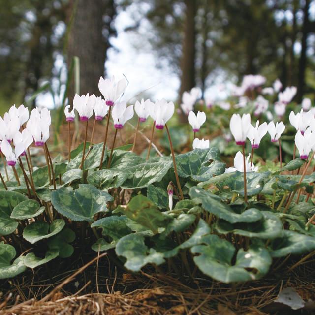 ガーデンシクラメン Cyclamen persicum サクラソウ科 シクラメン属 シクラメンの中でも寒さに強く、庭植えができるガーデンシクラメン。真冬に咲く小さめの花が可愛い。