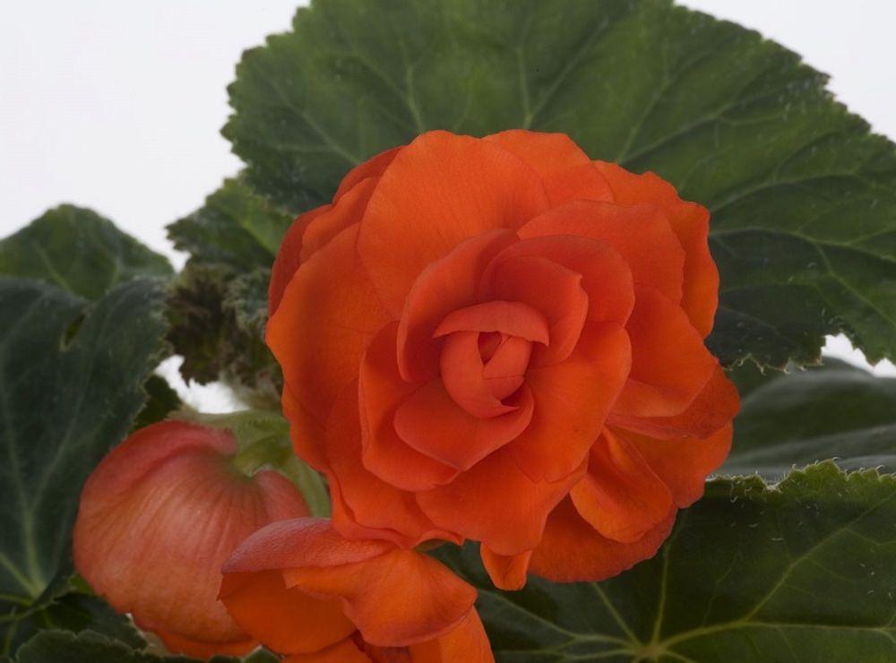 オレンジシェード/鮮やかなオレンジ色が華やかな品種。アプリコットから濃いオレンジ色まで濃淡の幅が広く、カラーバリエーションも楽しめます。