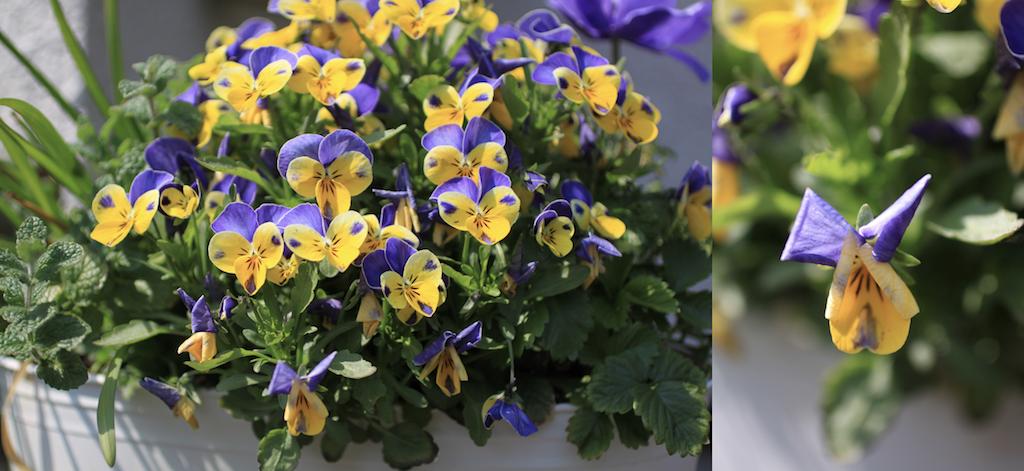 ビオラの花殼。花びらの先が丸まって、しおれかかっています。株の下のほうに花がらが集中しています。
