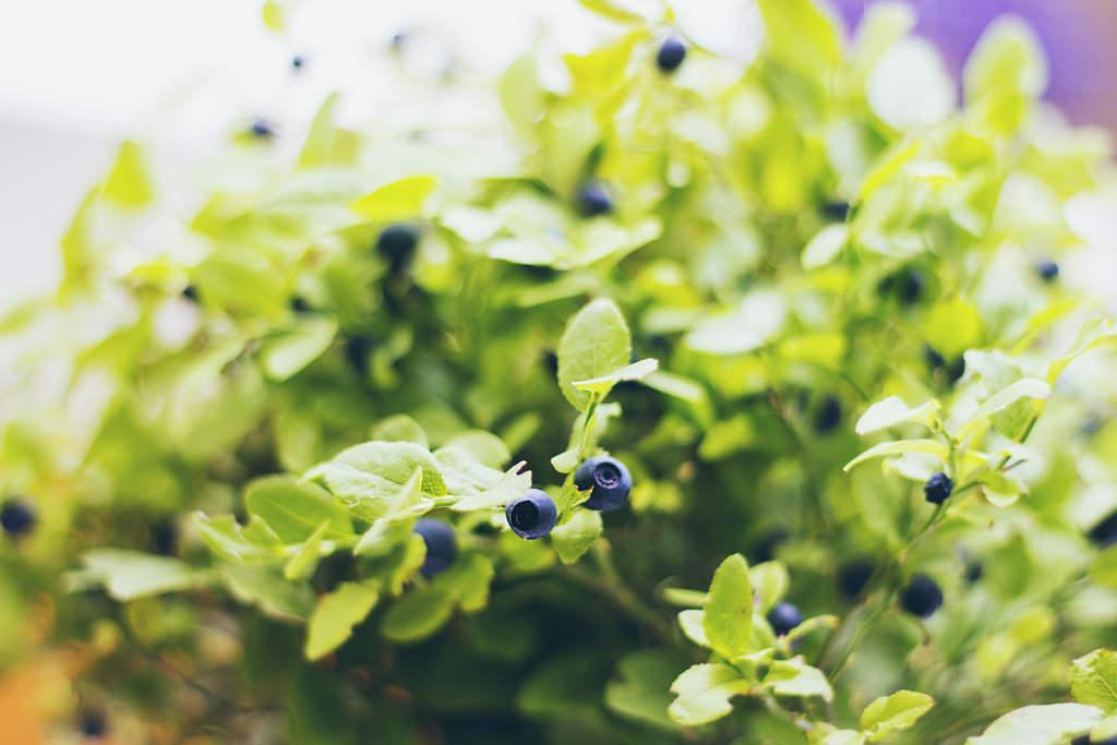 ブルーベリーに含まれるアントシアニンには、視覚、花粉症や生活習慣病の予防、 改善といったさまざまな効能が期待できる、優れた木の実です