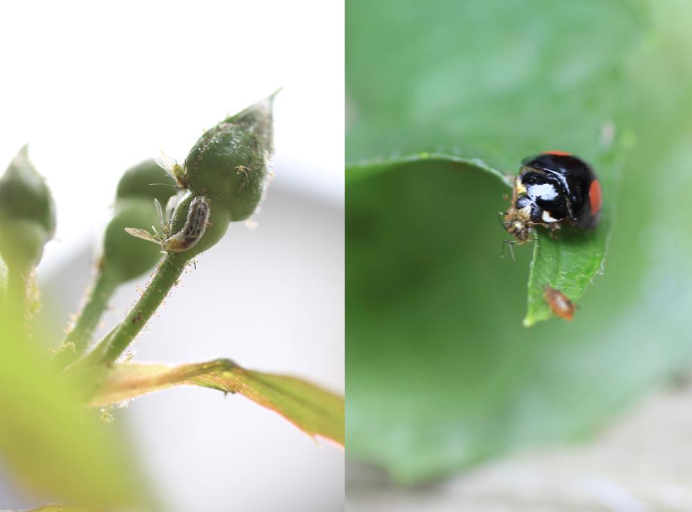 アブラムシを食べている最中のテントウムシとヒラタアブの幼虫。活躍を期待しています!
