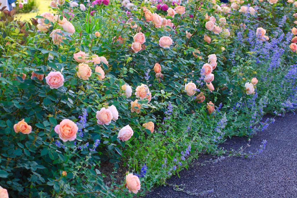 地植え(庭植え)されたバラとハーブ