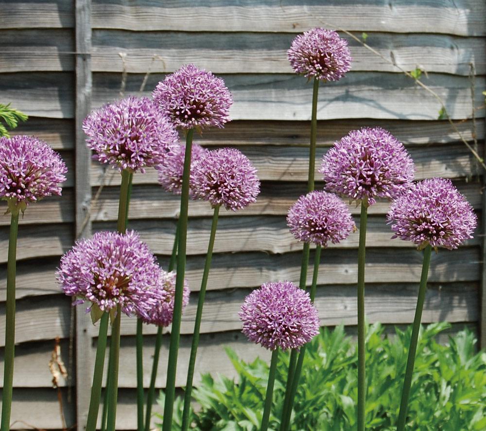 アリウム Allium giganteum ネギ科アリウム属 開花期:4~7月 花言葉:深い悲しみ 無限の悲しみ 優しい