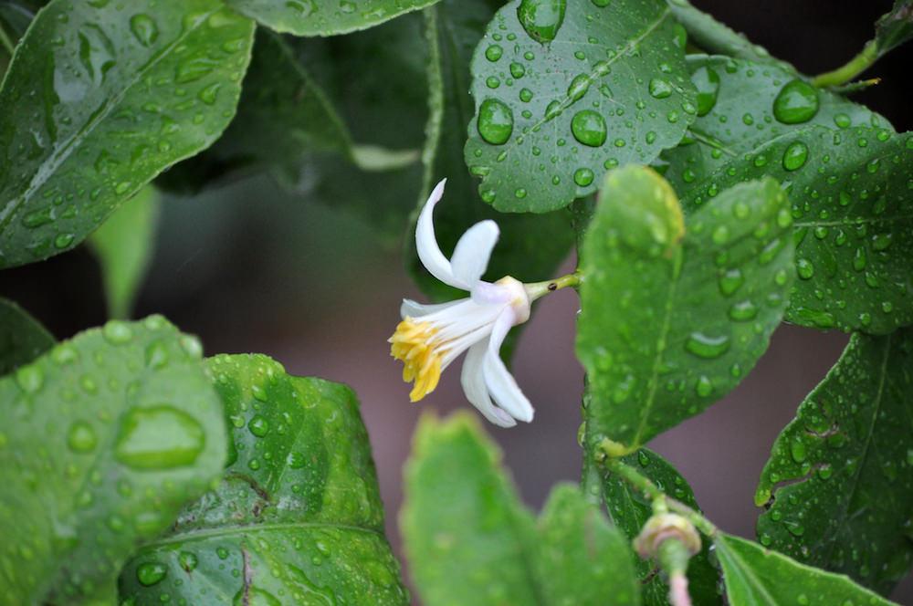 5月には白い可憐な花が咲く