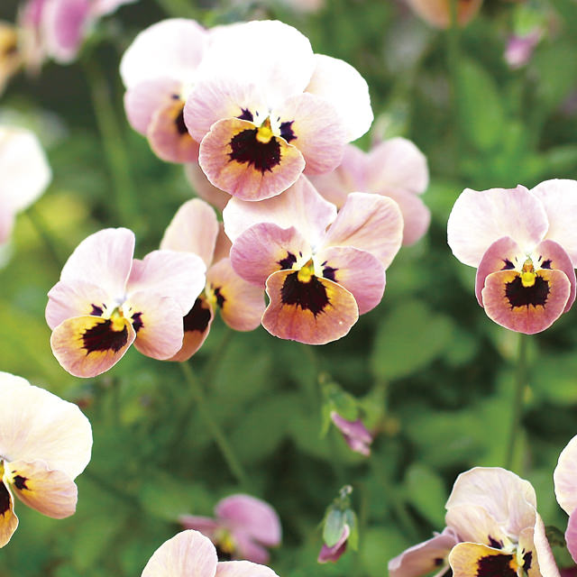 ビオラ Viola スミレ科 スミレ属 寒い中でもよく咲き、種類も豊富でガーデンには欠かせない冬の定番花。春にはさらに元気に咲くのもうれしい。