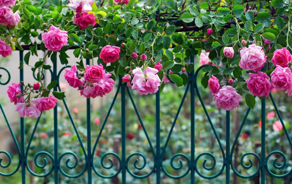 枝垂れ咲くつるバラとアイアンのフェンスがよく似合います。