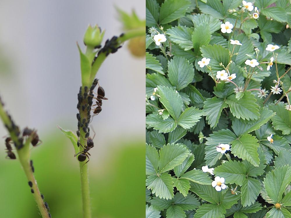 鉢植えのワイルドストロベリーの茎に寄生する黒いアブラムシ。共生関係にあるアリがアブラムシの甘露を集めています。ここに何度もテントウムシを置きましたが、アリを怖れて逃げるばかり。アブラムシを手で落とした方が断然早かったです。