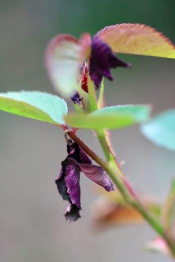 バラの新芽が枯れる原因とは?