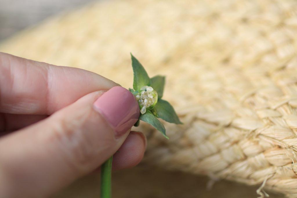 少々、放置した花殼は先端がぷっくりふくれています。そこを割って中をみてみると、小さなツブツブが。まだ青い未熟なタネです。取らずに放っておくと、タネが熟して地面に落ち、条件が整えばそこから新しく発芽しますが、園芸品種の場合は「親」と同じ花を咲かせることはあまりありません。