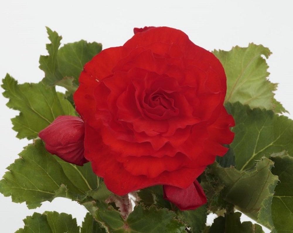 スカーレット レッド/大輪で花もちが良く、鮮烈な赤色の花を咲かせるスカーレットは、フォーチュンベゴニアの中でも人気の高い代表的な花色。