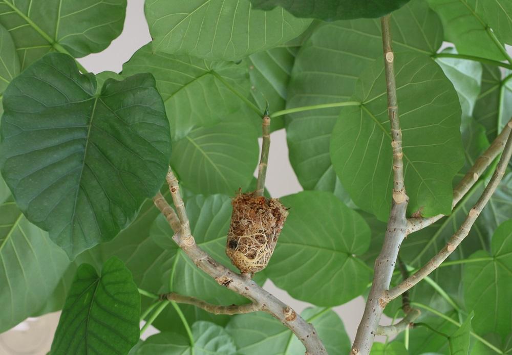 ウンベラータ の取り木で根が生えた