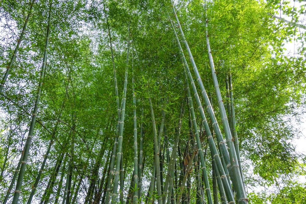 地下茎で増える竹・笹