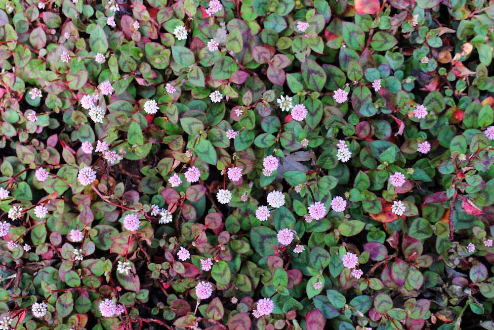 はびこる植物、ヒメツルソバ