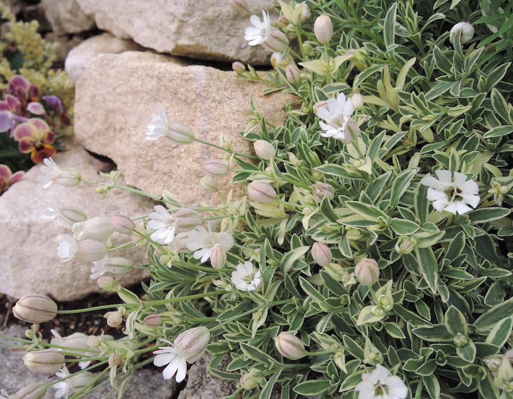花壇におすすめのシレネ'ドレッツバリエガータ'