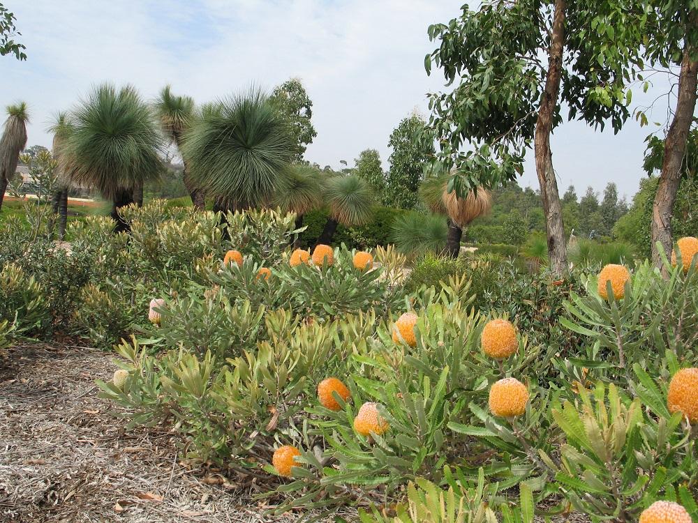 メルボルン王立植物園クランボンのバンクシア
