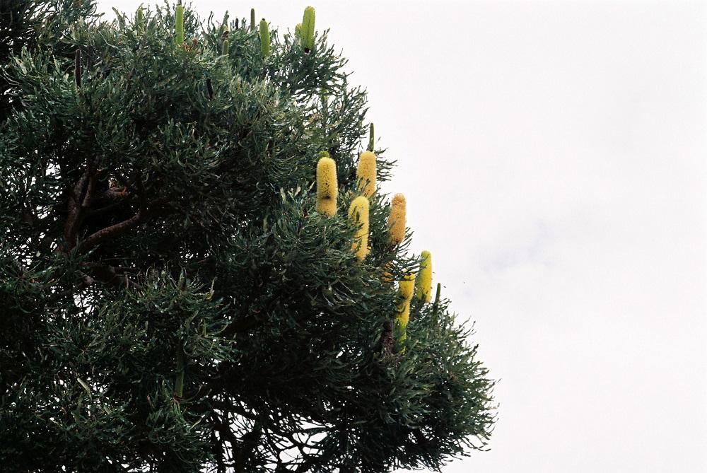 黄花が咲くバンクシア