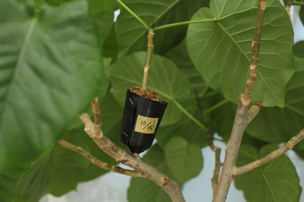 ウンベラータ の取り木の方法