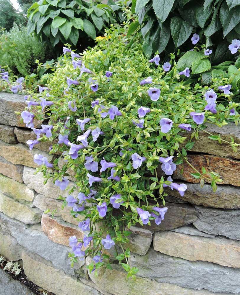 花壇におすすめのトレニア'カタリーナ・ブルーリバー'