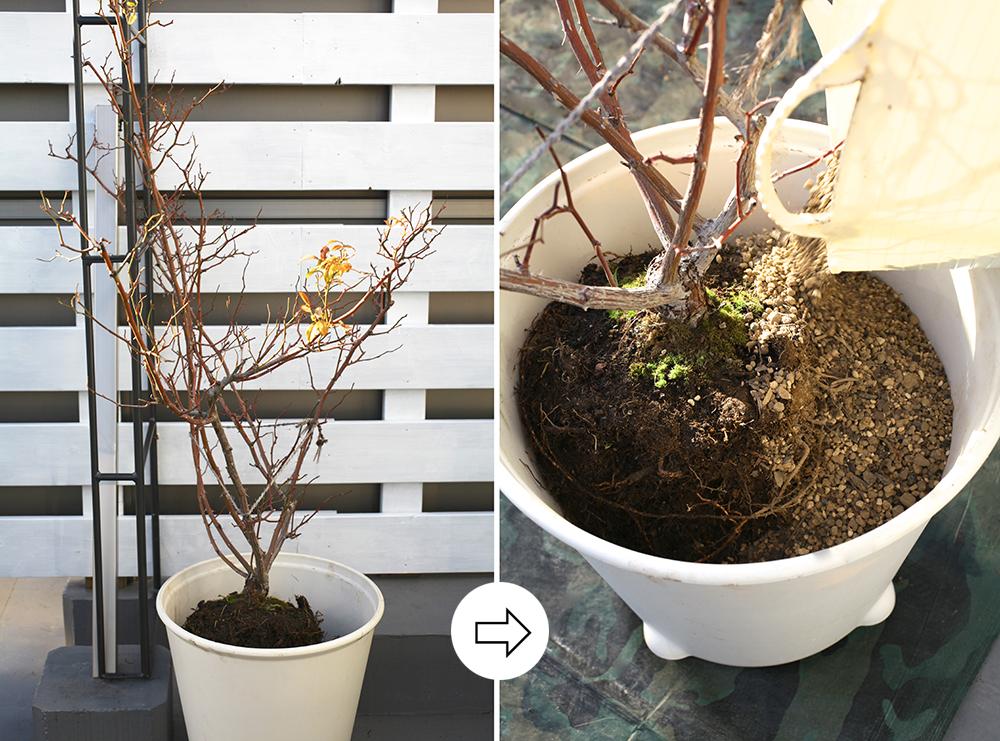 つるバラを鉢に植え付ける方法