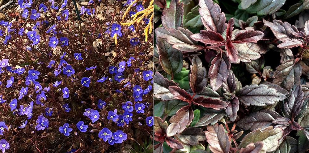 ベロニカ'オックスフォード ブルー'の季節の変化
