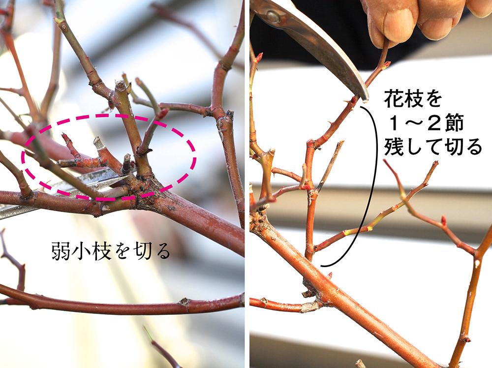 つるバラの枝を切る位置